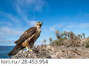 Купить «Galapagos hawk (Buteo galapagoensis) Santa Fe Island, Galapagos», фото № 28453954, снято 16 августа 2018 г. (c) Nature Picture Library / Фотобанк Лори