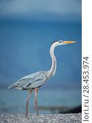 Купить «Great blue heron (Ardea herodias) Punta Espinosa, Fernandina Island, Galapagos», фото № 28453974, снято 21 февраля 2019 г. (c) Nature Picture Library / Фотобанк Лори