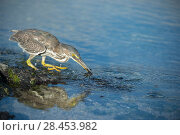 Купить «Striated heron (Butorides striata) with crab prey, Punta Espinosa, Fernandina Island, Galapagos», фото № 28453982, снято 21 февраля 2019 г. (c) Nature Picture Library / Фотобанк Лори