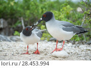 Купить «Swallow-tailed gull (Creagrus furcatus) pair in courtship, Genovesa Island, Galapagos», фото № 28453994, снято 16 августа 2018 г. (c) Nature Picture Library / Фотобанк Лори