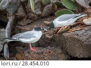Купить «Swallow-tailed gull (Creagrus furcatus) pair during courtship, Genovesa Island, Galapagos», фото № 28454010, снято 23 июля 2019 г. (c) Nature Picture Library / Фотобанк Лори