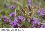 Купить «High brown fritillary butterfly (Argynnis adippe), Finland, July.», фото № 28454070, снято 18 июля 2018 г. (c) Nature Picture Library / Фотобанк Лори