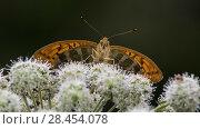 Купить «Silver-washed fritillary (Argynnis paphia), female feeding from flower, Finland, August.», фото № 28454078, снято 18 июля 2018 г. (c) Nature Picture Library / Фотобанк Лори