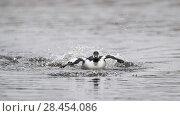 Купить «Goldeneye (Bucephala clangula), fighting males, Finland, April.», фото № 28454086, снято 23 июля 2018 г. (c) Nature Picture Library / Фотобанк Лори