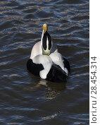Купить «Common eider (Somateria mollissima) drake courtship display. Amble Harbour, Northumberland, England, UK, March», фото № 28454314, снято 19 августа 2018 г. (c) Nature Picture Library / Фотобанк Лори
