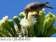 Купить «Gila woodpecker (Melanerpes uropygialis) female feeding on nectar in Saguaro cactus blossom (Carnegiea gigantea), Lost Dutchman State Park, Arizona, USA, April 2014.», фото № 28454410, снято 19 августа 2018 г. (c) Nature Picture Library / Фотобанк Лори