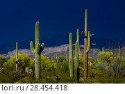 Купить «Saguaro cacti (Carnegiea gigantea), Organ Pipe Cactus National Monument, Sonoran Desert, Arizona, USA. April 2014.», фото № 28454418, снято 24 мая 2018 г. (c) Nature Picture Library / Фотобанк Лори