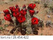 Купить «Claret Cup Cactus in flower (Echinocereus triglochidiatus), Capitol Reef National Park, Utah, USA, April.», фото № 28454422, снято 17 августа 2018 г. (c) Nature Picture Library / Фотобанк Лори