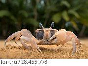 Купить «Ghost crab (Ocypode africana) on beach, Island of Principe, UNESCO Biosphere Reserve, Democratic Republic of Sao Tome and Principe, Gulf of Guinea», фото № 28455778, снято 23 мая 2018 г. (c) Nature Picture Library / Фотобанк Лори