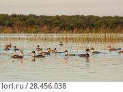 Купить «Silvery grebe (Podiceps occipitalis) group, La Pampa, Argentina», фото № 28456038, снято 16 июля 2018 г. (c) Nature Picture Library / Фотобанк Лори