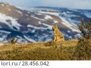 Grey fox (Pseudalopex griseus) Torres del Paine National Park, Chile. Стоковое фото, фотограф Gabriel Rojo / Nature Picture Library / Фотобанк Лори