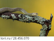 Купить «Patagonia green racer  snake  (Philodryas patagoniensis)  Captive occurs in South America.», фото № 28456070, снято 26 мая 2018 г. (c) Nature Picture Library / Фотобанк Лори