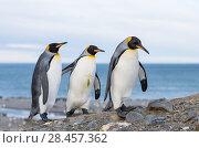 King Penguin (Aptenodytes patagonicus) on the island of South Georgia, the rookery in St. Andrews Bay. Courtship behaviour. Antarctica, Subantarctica, South Georgia. Стоковое фото, фотограф Martin Zwick / age Fotostock / Фотобанк Лори