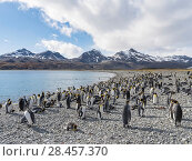 King Penguin (Aptenodytes patagonicus) on the island of South Georgia, the rookery in Fortuna Bay. Antarctica, Subantarctica, South Georgia. Стоковое фото, фотограф Martin Zwick / age Fotostock / Фотобанк Лори