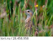 Купить «Corncrake (Crex crex) hidden in meadow, Balranald RSPB Nature Reserve, North Uist, Scotland, June», фото № 28458958, снято 22 июля 2018 г. (c) Nature Picture Library / Фотобанк Лори
