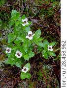 Купить «Dwarf cornel (Cornus suecica) growing in amongst heather on Beinn Eighe National Nature Reserve, Wester Ross, Scotland, June.», фото № 28458962, снято 20 сентября 2018 г. (c) Nature Picture Library / Фотобанк Лори