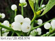 Купить «Mistletoe (Viscum album) close-up of berries, England, December.», фото № 28458974, снято 22 июля 2018 г. (c) Nature Picture Library / Фотобанк Лори