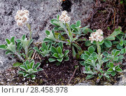 Купить «Mountain Everlasting (Antennaria dioica) in flower, Isle of Rum National Nature Reserve, Inner Hebrides, Scotland, June.», фото № 28458978, снято 14 августа 2018 г. (c) Nature Picture Library / Фотобанк Лори