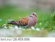 Купить «Turtle Dove (Streptopelia turtur) migrant bird on St Kilda, Scotland, June.», фото № 28459006, снято 22 июля 2018 г. (c) Nature Picture Library / Фотобанк Лори