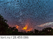 Купить «Mexican free-tailed bats (Tadarida brasiliensis) leaving maternity colony at night to feed, Bracken Cave, San Antonio, Texas, USA, June. Bracken Cave is the worlds largest bat maternity colony.», фото № 28459086, снято 19 июня 2018 г. (c) Nature Picture Library / Фотобанк Лори