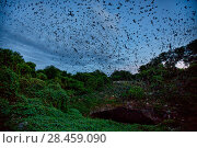 Купить «Mexican free-tailed bats (Tadarida brasiliensis) leaving maternity colony at night to feed, Bracken Cave, San Antonio, Texas, USA, June. Bracken Cave is the worlds largest bat maternity colony.», фото № 28459090, снято 19 июня 2018 г. (c) Nature Picture Library / Фотобанк Лори