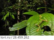 Купить «Tiger-leg monkey frog (Phyllomedusa tomopterna) Peru.», фото № 28459262, снято 21 августа 2018 г. (c) Nature Picture Library / Фотобанк Лори