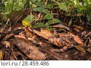 Купить «Peruvian horned frog (Ceratophrys cornuta) camouflaged in leaf litter, Peru», фото № 28459486, снято 23 июля 2018 г. (c) Nature Picture Library / Фотобанк Лори