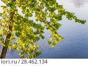 Купить «Дерево осины обыкновенной (Populus tremula, Тополь дрожащий) на закате над рекой», фото № 28462134, снято 8 мая 2018 г. (c) Алёшина Оксана / Фотобанк Лори