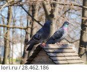 Купить «Portrait of two pigeons», фото № 28462186, снято 7 мая 2018 г. (c) Argument / Фотобанк Лори