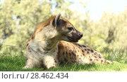 Купить «Spotted hyena (Crocuta crocuta), laughing hyena», видеоролик № 28462434, снято 29 сентября 2017 г. (c) BestPhotoStudio / Фотобанк Лори