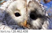 Купить «Ural owl (Strix uralensis) is medium-sized owl», видеоролик № 28462438, снято 26 января 2018 г. (c) BestPhotoStudio / Фотобанк Лори