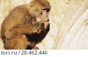 Купить «Baboons are monkeys belonging to genus Papio», видеоролик № 28462446, снято 19 февраля 2018 г. (c) BestPhotoStudio / Фотобанк Лори