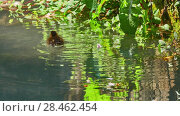 Купить «Little ducklings are swimming along small canal», видеоролик № 28462454, снято 9 мая 2018 г. (c) BestPhotoStudio / Фотобанк Лори