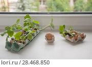 Купить «Огуречная рассада на подоконнике в яичных скорлупках», эксклюзивное фото № 28468850, снято 25 июня 2019 г. (c) Svet / Фотобанк Лори