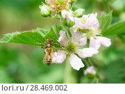 Паук-бокоход, или неравноногий бокоход, или паук-краб (лат. Thomisidae) с пойманной пчелой (лат. Anthophila) сидит на цветке садовой крупноплодной ежевики (лат. Rubus) Стоковое фото, фотограф Наталья Гармашева / Фотобанк Лори