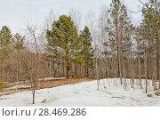 Купить «Сибирь, Весна в лесу», эксклюзивное фото № 28469286, снято 23 апреля 2018 г. (c) Александр Циликин / Фотобанк Лори