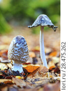 Купить «Coprinus picaceous mushroom. Sierra de Urbasa-Andia Natural Park. Navarre, Spain, Europe.», фото № 28475262, снято 14 ноября 2016 г. (c) age Fotostock / Фотобанк Лори