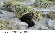 Купить «Antarctic fur seal pup close», видеоролик № 28476954, снято 5 февраля 2018 г. (c) Vladimir / Фотобанк Лори