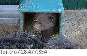 Купить «Малыш медвежонок в вольере зоопарка», видеоролик № 28477354, снято 29 мая 2018 г. (c) А. А. Пирагис / Фотобанк Лори
