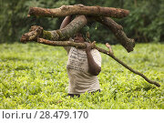 Купить «Local woman carrying firewood, Kenya,  July 2017.», фото № 28479170, снято 21 июля 2018 г. (c) Nature Picture Library / Фотобанк Лори