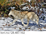 Купить «North-western wolf (Canis lupus occidentalis) captive occurs in  northwestern USA and Canada.», фото № 28487102, снято 22 августа 2018 г. (c) Nature Picture Library / Фотобанк Лори