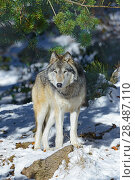 Купить «North-western wolf (Canis lupus occidentalis) captive occurs in  northwestern USA and Canada.», фото № 28487110, снято 22 августа 2018 г. (c) Nature Picture Library / Фотобанк Лори