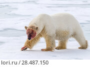 Купить «Polar bear (Ursus maritimus) with blood covered face on ice, Spitsbergen, Svalbard, Norway, Arctic Ocean», фото № 28487150, снято 30 марта 2020 г. (c) Nature Picture Library / Фотобанк Лори