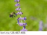 Купить «Eastern bumblebee (Bombus impatiens) flying to  Russian sage (Perovskia atriplicifolia), Wisconsin, USA, August.», фото № 28487406, снято 19 июня 2018 г. (c) Nature Picture Library / Фотобанк Лори