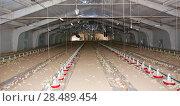 Купить «One-day chickens at the modern poultry farm», фото № 28489454, снято 30 мая 2012 г. (c) Олег Хархан / Фотобанк Лори