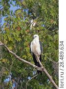 Купить «Swallow-tailed kite (Elanoides forficatus) Central Florida,USA, July.», фото № 28489634, снято 22 июня 2018 г. (c) Nature Picture Library / Фотобанк Лори