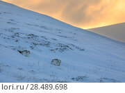 Mountain Hare (Lepus timidus) pair settling down for night, Scotland, UK.   January. Стоковое фото, фотограф Andy Rouse / Nature Picture Library / Фотобанк Лори
