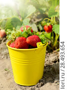 Купить «Yellow bucket fool of organic strawberries on garden-bed», фото № 28493654, снято 22 июня 2018 г. (c) Ingram Publishing / Фотобанк Лори