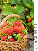 Купить «Wicker basket fool of organic strawberries on garden-bed», фото № 28493918, снято 22 июня 2018 г. (c) Ingram Publishing / Фотобанк Лори