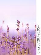 Купить «Lavender flowers bloom summer time», фото № 28493954, снято 12 июля 2020 г. (c) Ingram Publishing / Фотобанк Лори